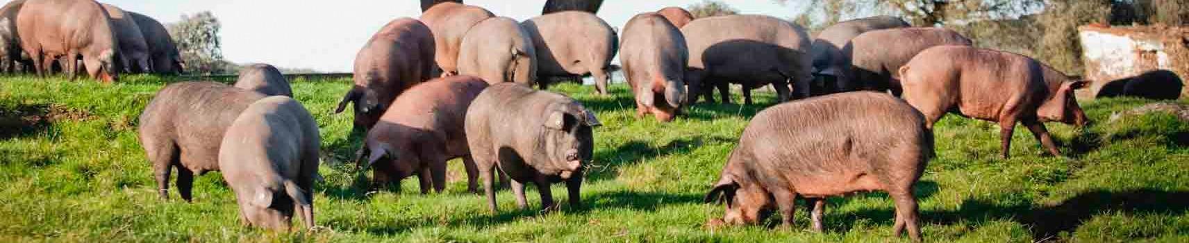 Carne de cerdo SIN GLUTEN y SIN LACTOSA
