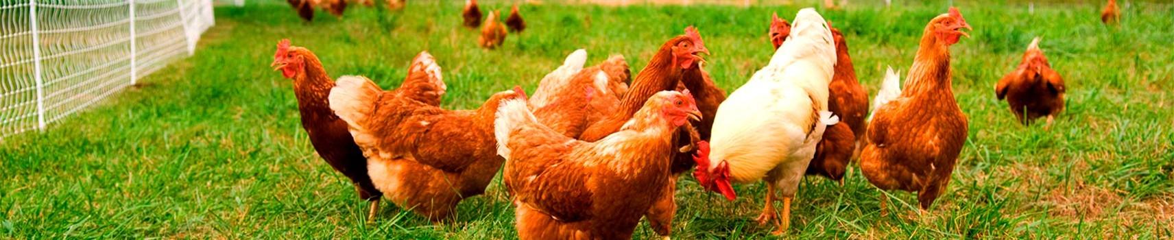 carne-de-pollo-sin-gluten-y-sin-lactosa-para-celiaco
